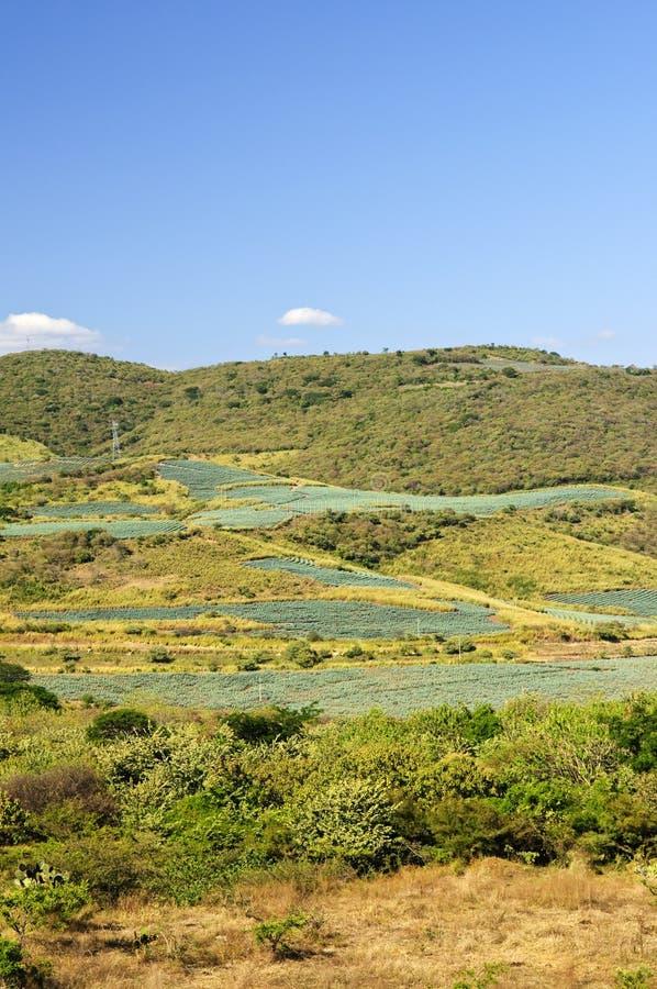 Horizontal de gisement de cactus d'agave au Mexique photographie stock