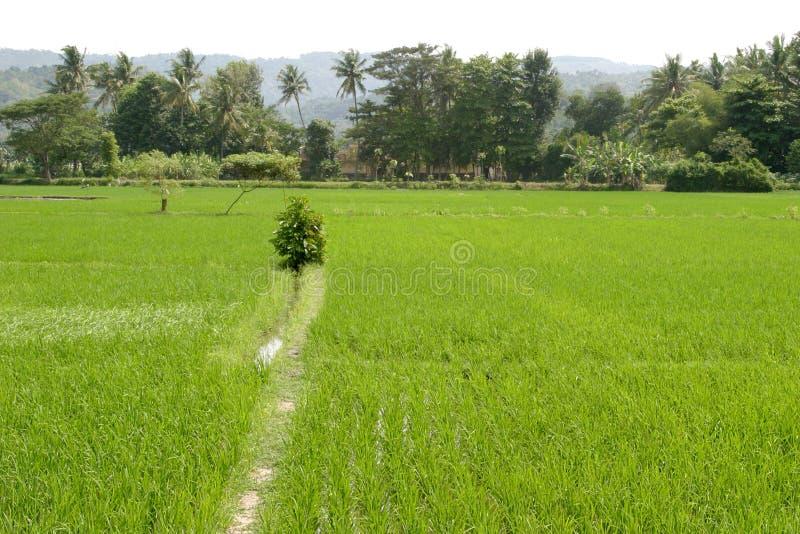 Horizontal de gisement de riz photo libre de droits