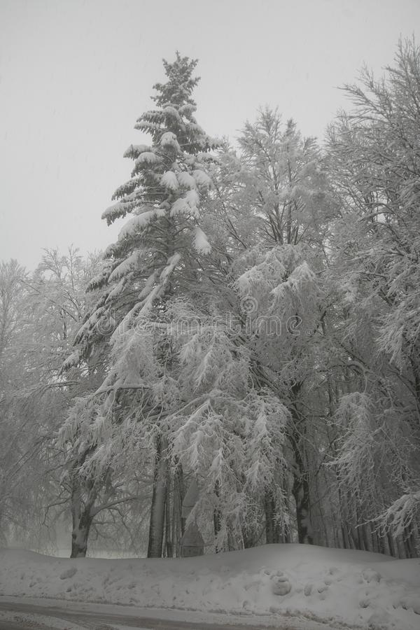 Horizontal de l'hiver Forêt de sapins couverte par neige dans l'après-midi de calme d'hiver photos libres de droits