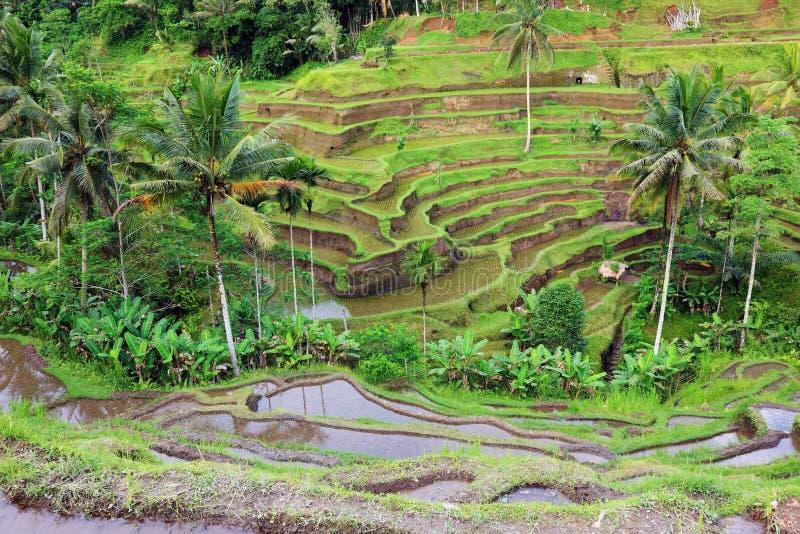 Horizontal de terrasses de riz de Balinese. photographie stock