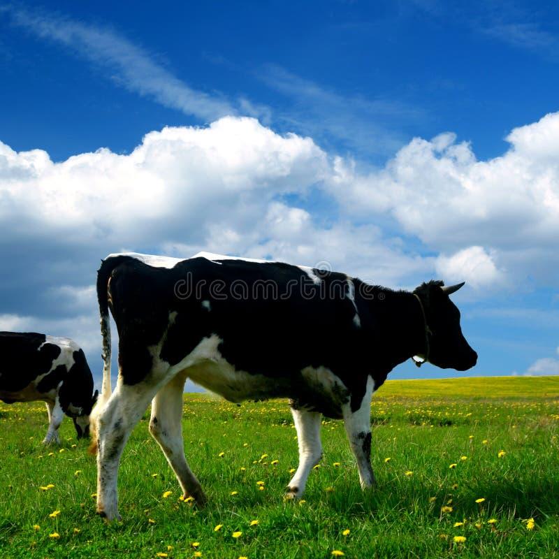 Horizontal de vache photo libre de droits