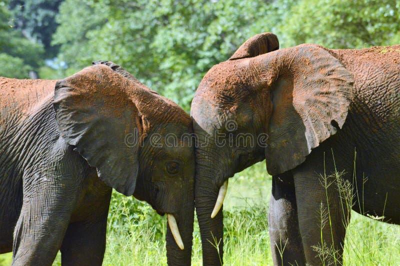 Horizontal do tronco de dois elefantes ao tronco fotografia de stock royalty free