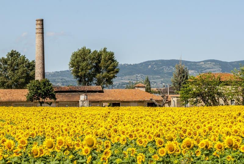 O campo dos girassóis aproxima Foligno (Úmbria) imagens de stock royalty free