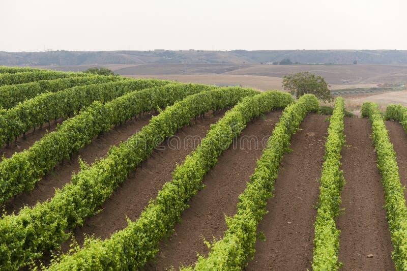 Horizontal en Basilicata (Italie) : vigne image stock