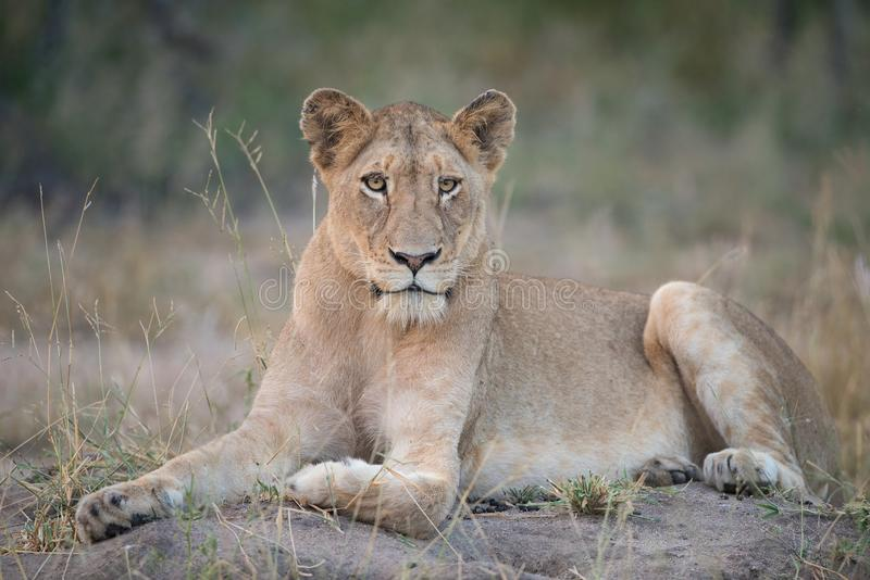 A horizontal, full length, colour photo of a lioness, Panthera l stock image
