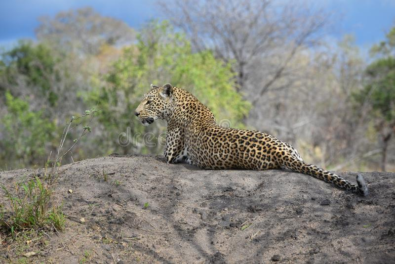 A large male leopard lying on a rock royalty free stock photos