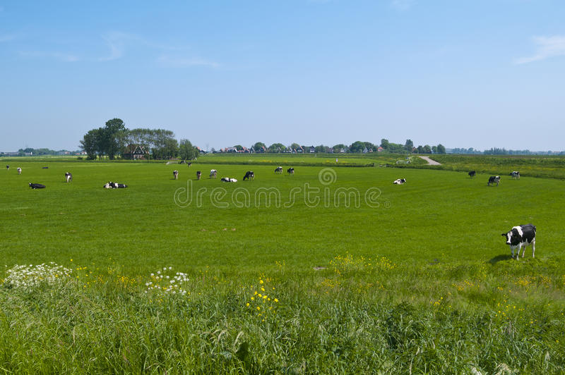 Horizontal hollandais avec des vaches photographie stock