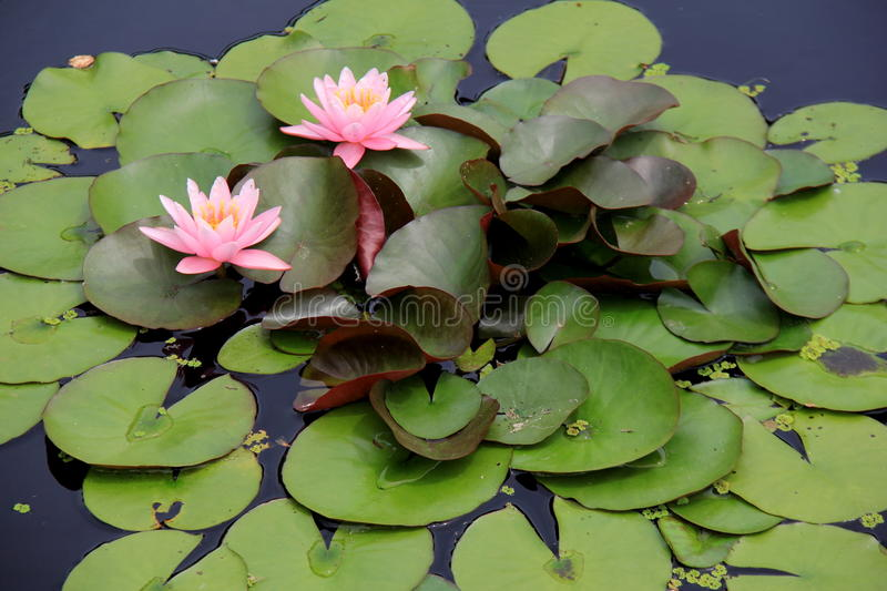 Horizontal image of beautiful pink and white water lilies. Horizontal image of pink and white water lilies with large green leaves, set closely together in pond stock images