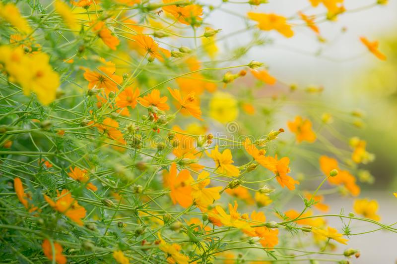Horizontal image. The flowers tree are tilted. beautiful nature background of yellow blossom cosmos flowers. Horizontal image. The flowers tree are tilted stock images