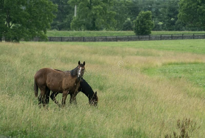 Two horses grazing in a field in rain or snow. royalty free stock photo