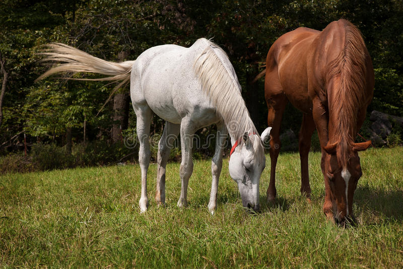Horizontal image of two thoroughbred horses eating on a green meadow stock photos
