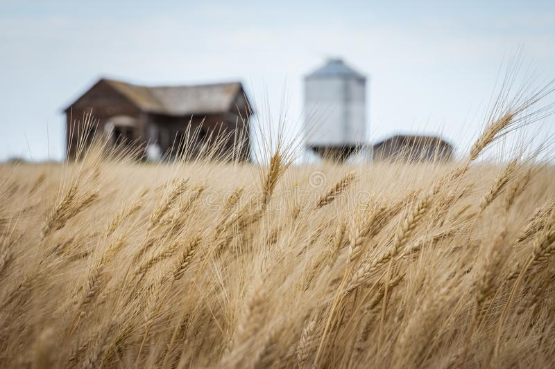 Wheat field waving in the wind with a burred old farm house in the background. stock images