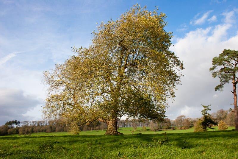 Horizontal mûr d'arbre de sycomore image stock