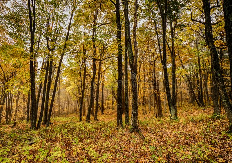 Background of colorful fall foliage forest in the Appalachians of Virginia. Horizontal natural background of colorful fall foliage beech forest in the royalty free stock image