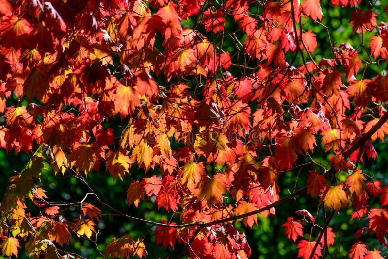 Horizontal photo of Autumn leaves. Horizontal photo of beautiful orange and yellow Autumn leaves royalty free stock photos