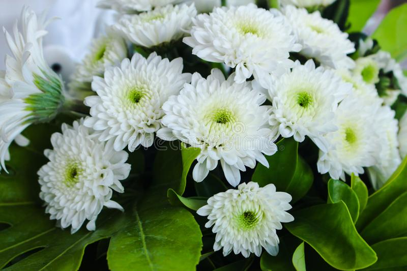 Beautiful simple bouquet of white chrysanthemum flowers in full bloom, with green leaves. Also called mums or chrysanths royalty free stock photography