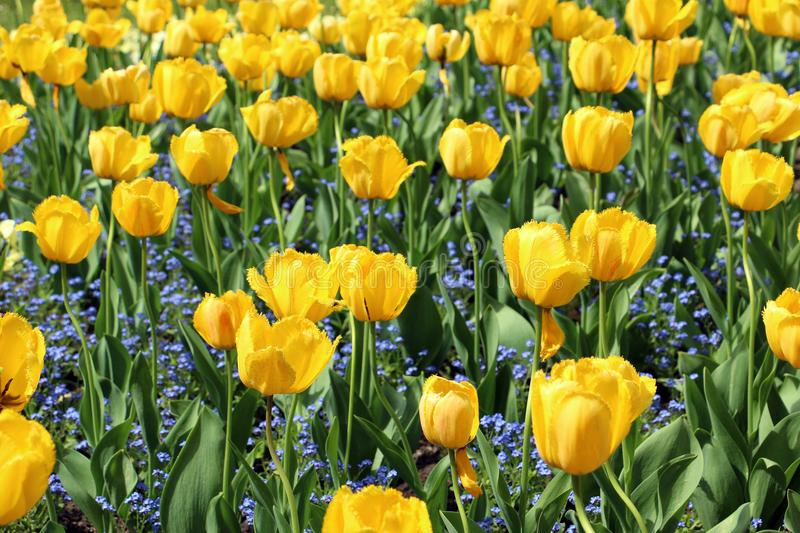 Horizontal photo of big flowers of yellow tulips and small flowers of Myosostis royalty free stock image