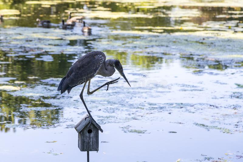 Horizontal photo of blue heron perched in profile on one leg stock photo