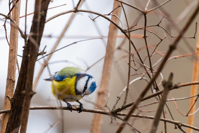 Horizontal photo of blue tit songbird. Bird with yellow, white, blue green feathers stock photography