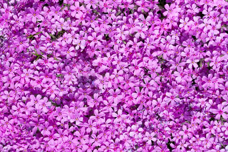 Top view on many purple blooms which fills complete space of photo. Horizontal photo with carpet created by pink and purple phlox flowers. Blooms with colorful stock photos