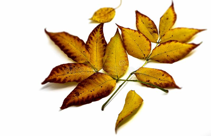 The horizontal photo in the center shows yellow brown autumn leaves fallen to the ground on a white background stock photography