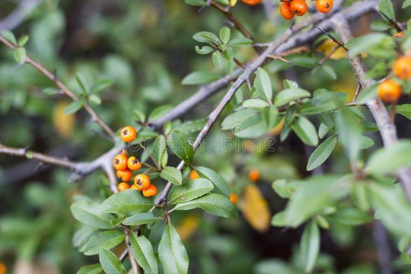 Horizontal photo of fall orange berries on bush. With green leaves. Digital background photo stock image