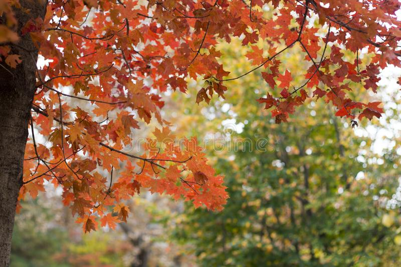 Horizontal photo of fall red & orange tree stock images