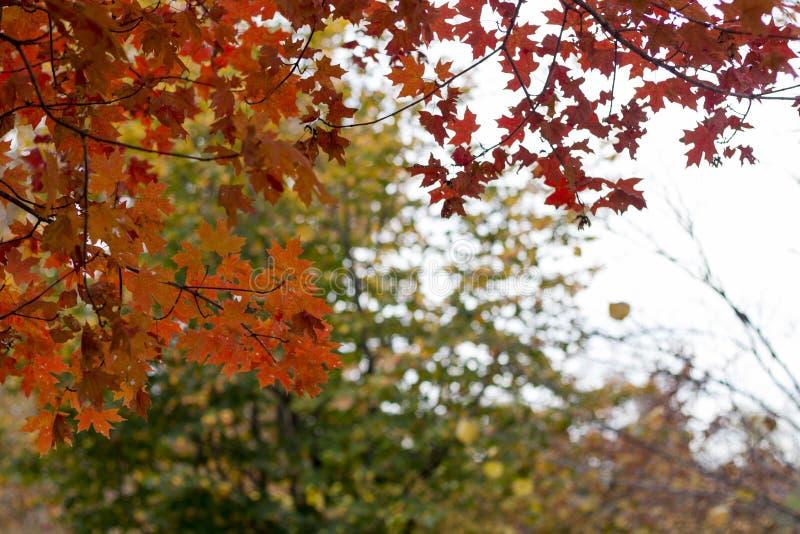 Horizontal photo of fall red & orange trees. Framing the photo. Digital background photo stock images