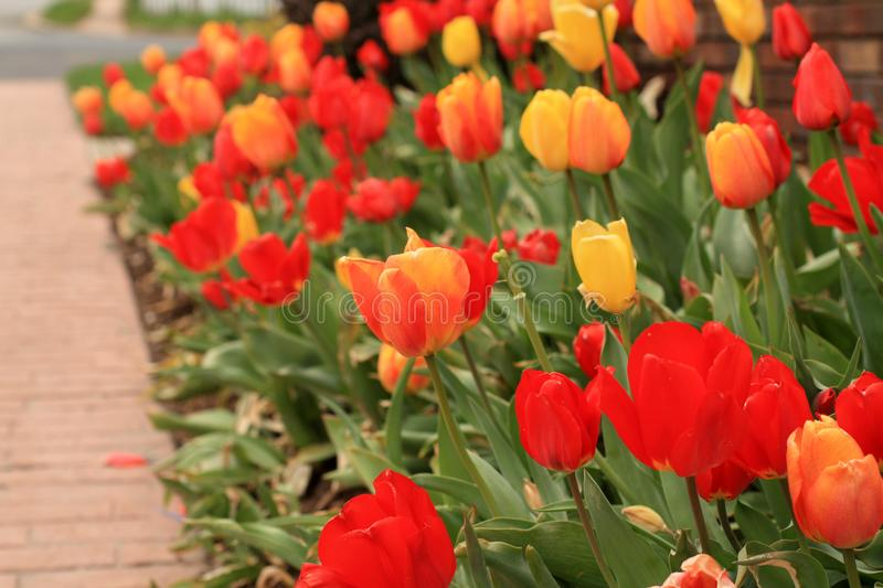 Horizontal photo of an orange and yellow tulip flower in focus with other red and yellow tulips in some landscaping. Horizontal photo of landscaping a orange stock photos