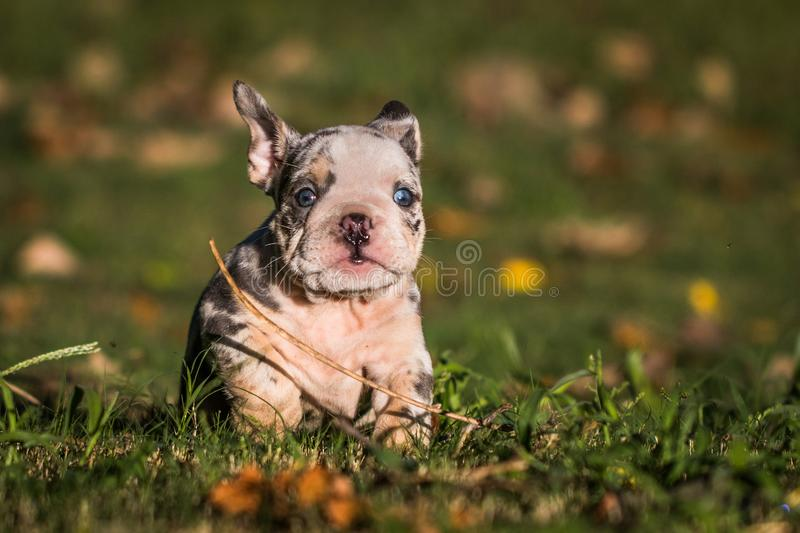 Bulldog Puppy Running royalty free stock images