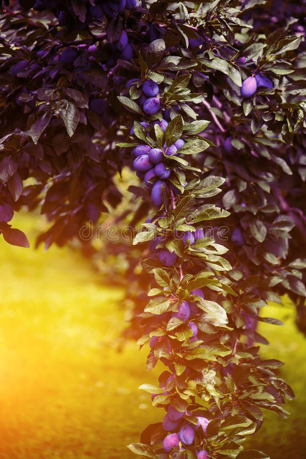 Horizontal photography of the plum orchard on the sunset. Toned stock image