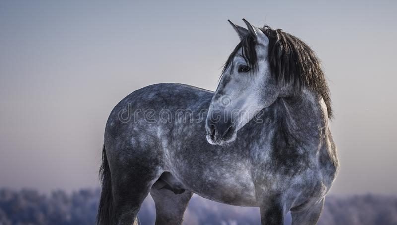 Horizontal portrait of gray Spanish horse with winter evening. Horizontal portrait of gray Andalusian horse with winter evening skies stock images
