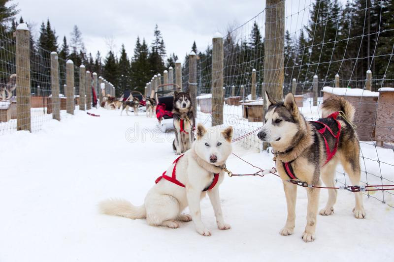 Horizontal portrait of husky and malamute cross-breed sled dogs waiting eagerly in snow covered corridor. For the beginning of a run, Ste-Christine-d' stock image