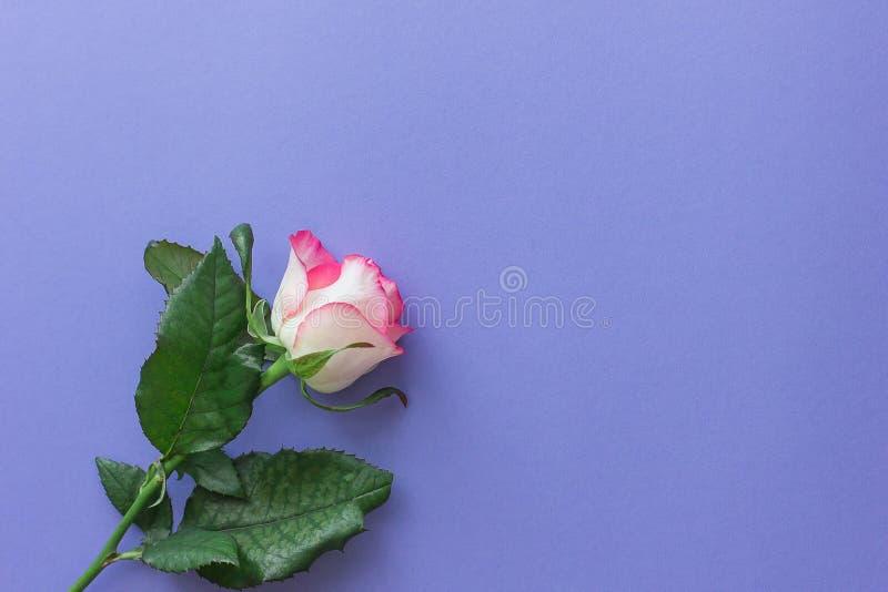 Horizontal Rosarose auf einem lila Pastellhintergrund stockfotografie