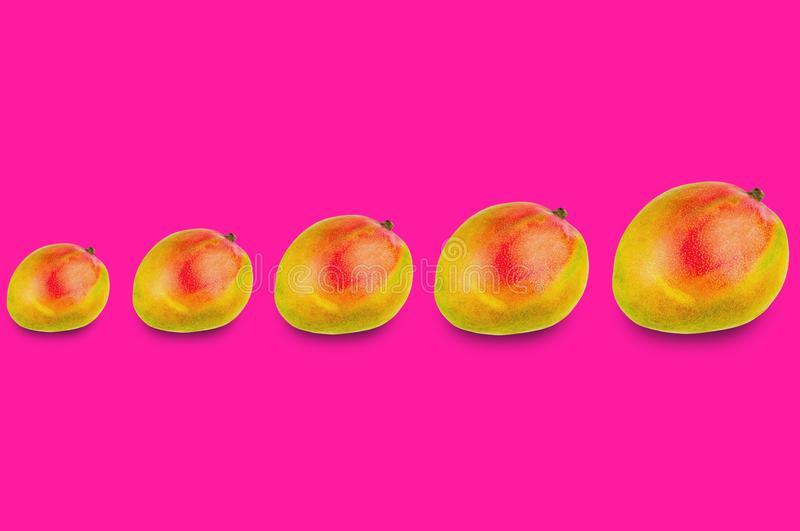 Horizontal row of whole ripe mango from small to large. On pink background stock illustration