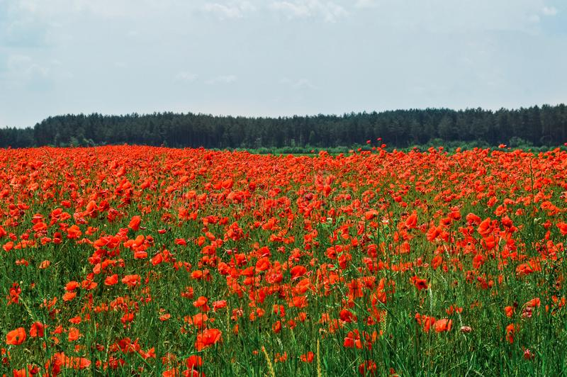 Horizontal rural Un champ des pavots fleurissants rouges lumineux Ciel sur le fond images libres de droits
