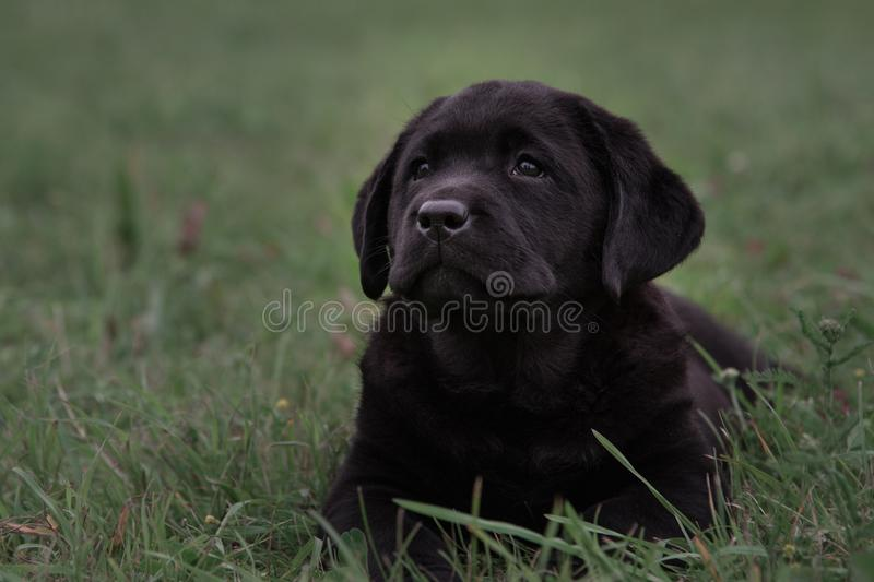Cute black puppy Labrador Retriever isolated on a background of green grass. Horizontal shot of cute black puppy Labrador Retriever on a background of green royalty free stock image