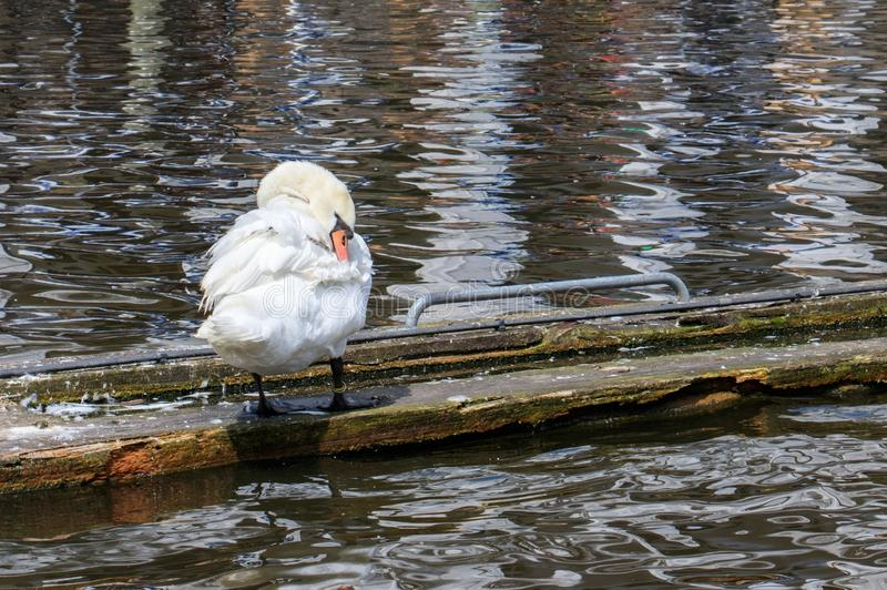 Horizontal shot of a cute white Tundra swan standing near the lake during daytime. A horizontal shot of a cute white Tundra swan standing near the lake during stock photography