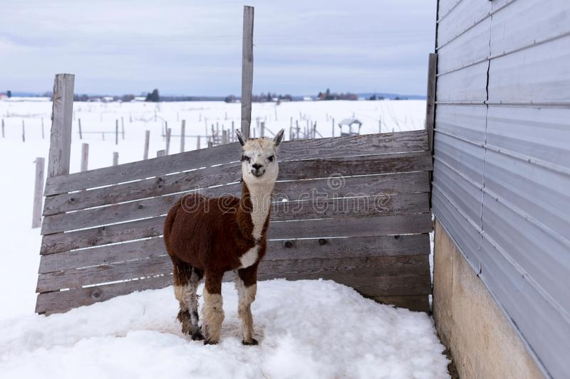 Horizontal shot of funny alpaca with cream and brown coat standing s. Taring in fenced pen with straw in its coat in winter, Pont-Rouge, Quebec, Canada stock images