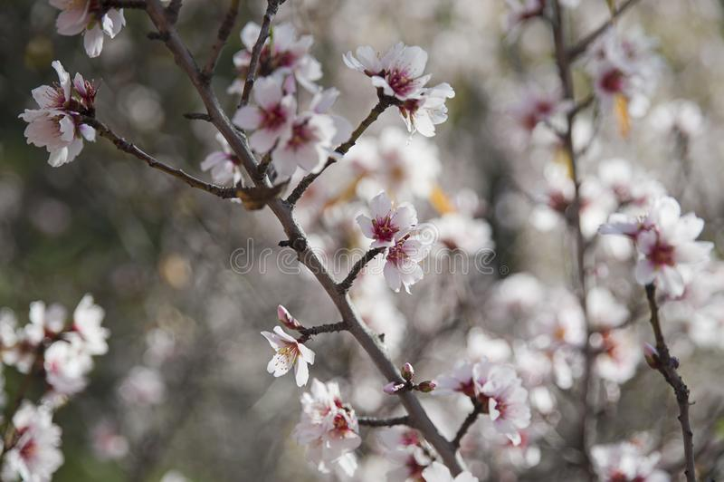 Sweet almond tree blossoming displaying clusters of delicate and download sweet almond tree blossoming displaying clusters of delicate and small pale pink flowers mightylinksfo