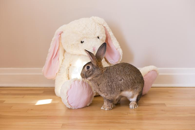 Horizontal side view photo of Flemish Giant rabbit in front of a giant white stuffed rabbit toy royalty free stock photography