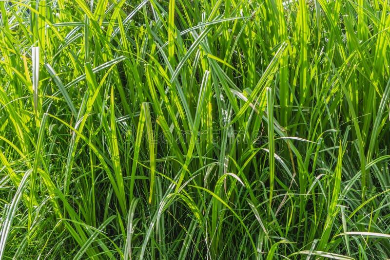 Horizontal texture of green grass reeds by a pond in summer. Horizontal texture of green grass reeds is by a pond in summer royalty free stock photos