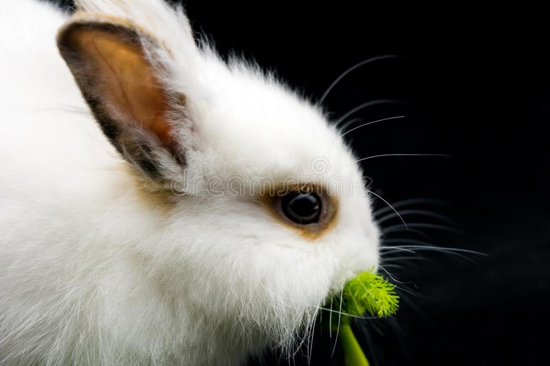 Horizontal View of Close Up of One Month Old White Dwarf Rabbit royalty free stock image