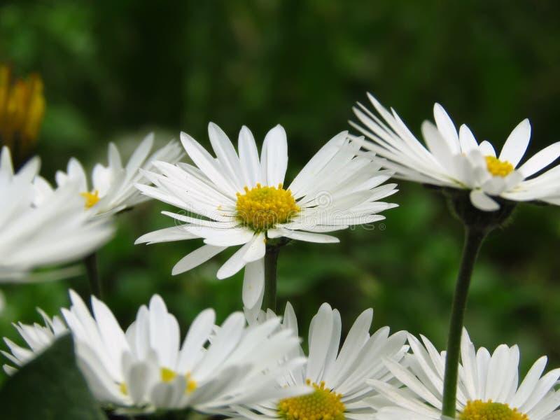 Horizontal view of daisy flowers on dark green blurred background.  Bellis perennis. Spring summer white flower. stock photos
