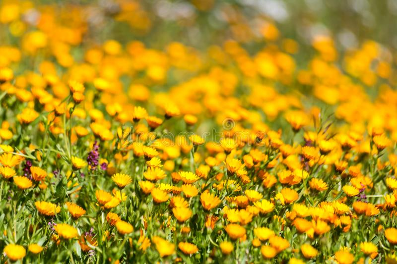 Horizontal View of A Meadow With Orange Flowers on Blur Background. In Spring royalty free stock image