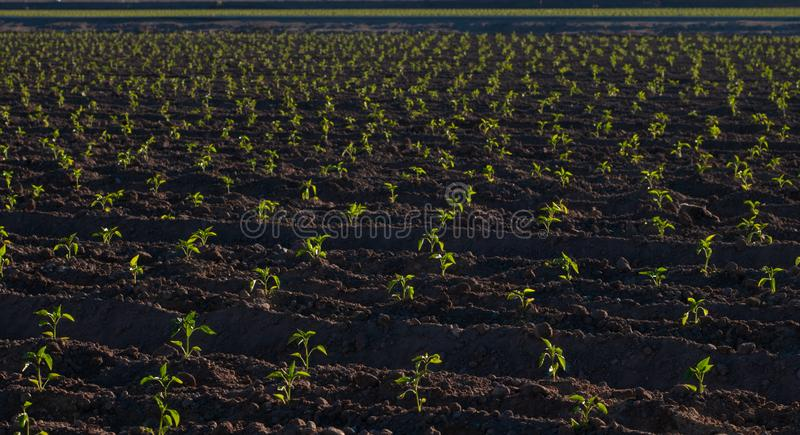 Horizontal chile pepper plants just sprouting, Hatch, NM royalty free stock image