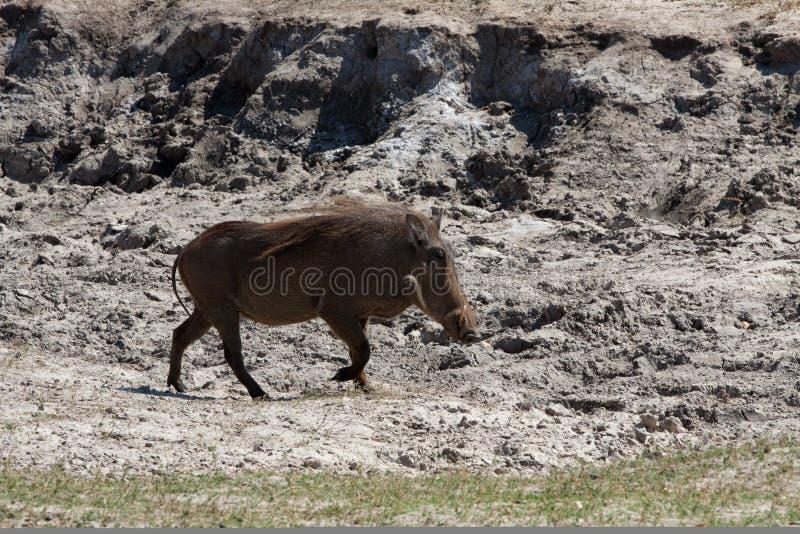 Horizontal warthog running stock photography