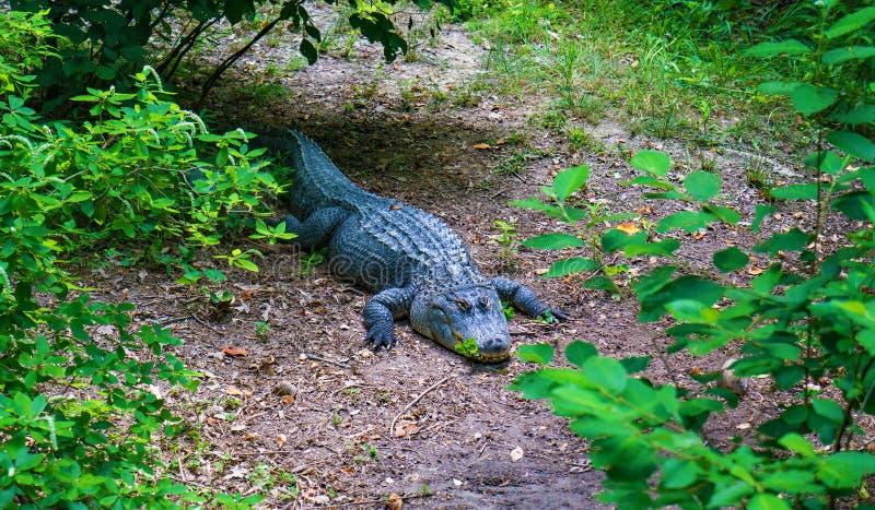 Horizontale Ansicht eines amerikanischen Alligators auf der Flussbank lizenzfreies stockfoto