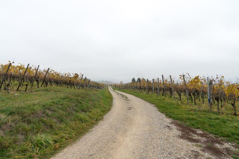Horizontale gouden de Pinot Noirwijnstokken van de de herfstkleur in een wijngaard in het platteland met een grinttoegangsweg die royalty-vrije stock fotografie