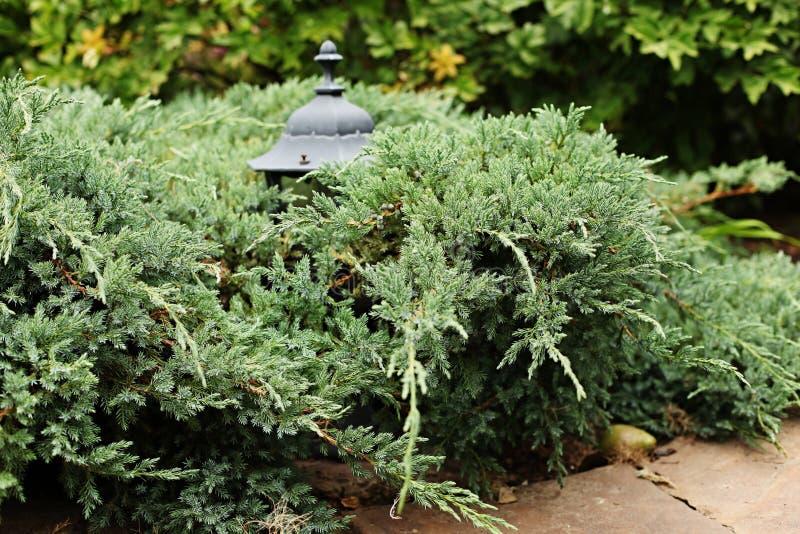 Horizontaler Garten horizontale laterne des wacholderbusch blauen teppichs mit garten